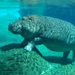 Hippopotamus-underwater-sleeping