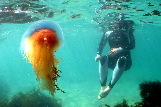 Jellyfish-poison-are-really-harmful-to-human