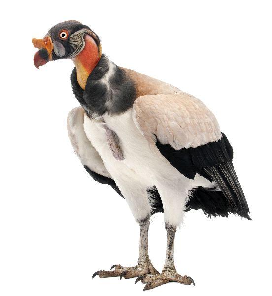 King-Vulture-Sarcoramphus-Papa