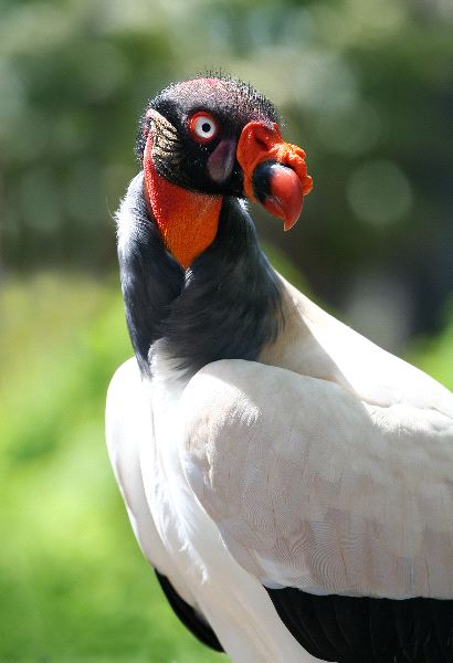 King-vulture-orange-beak