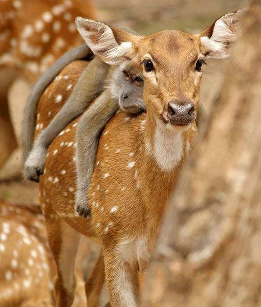 deer-and-monkey-very-funny