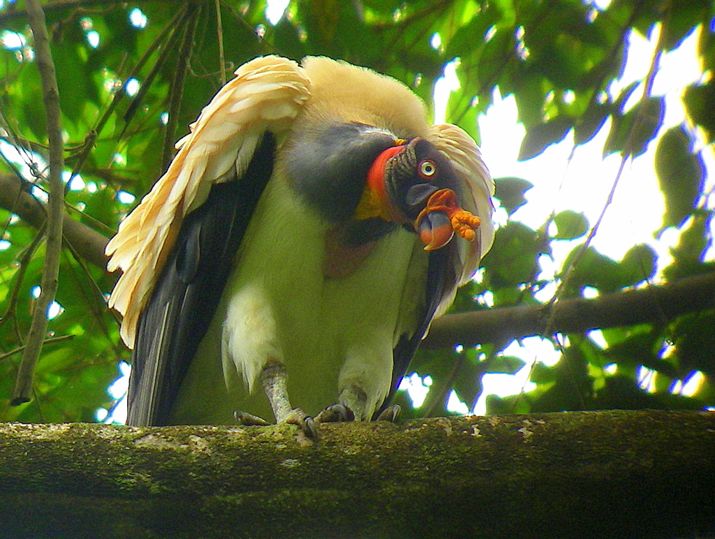 green-colored-king-vulture
