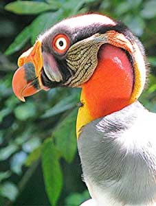 in-mayan-culture-king-vulture-refered-as-intermediate-between-god-and-human
