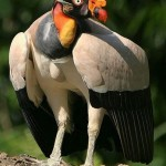king-vulture-native-to-central-and-south-america