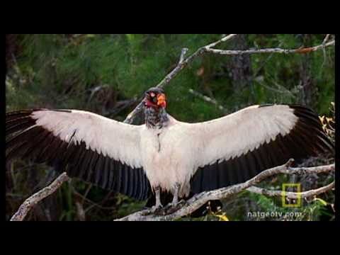 king-vulture-wingspan-is-almost-6feet