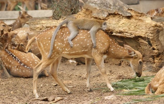 lazy-monkey-ride-over-deer