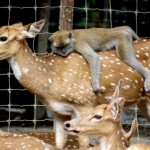 Amazing Friendship Between A Deer And A Monkey