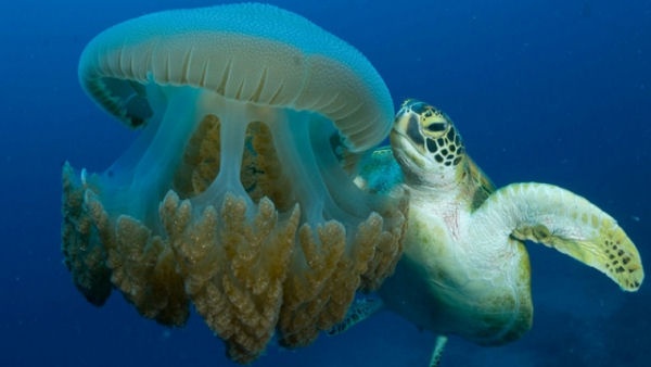 Turtle eating jellyfish images for What do jelly fish eat