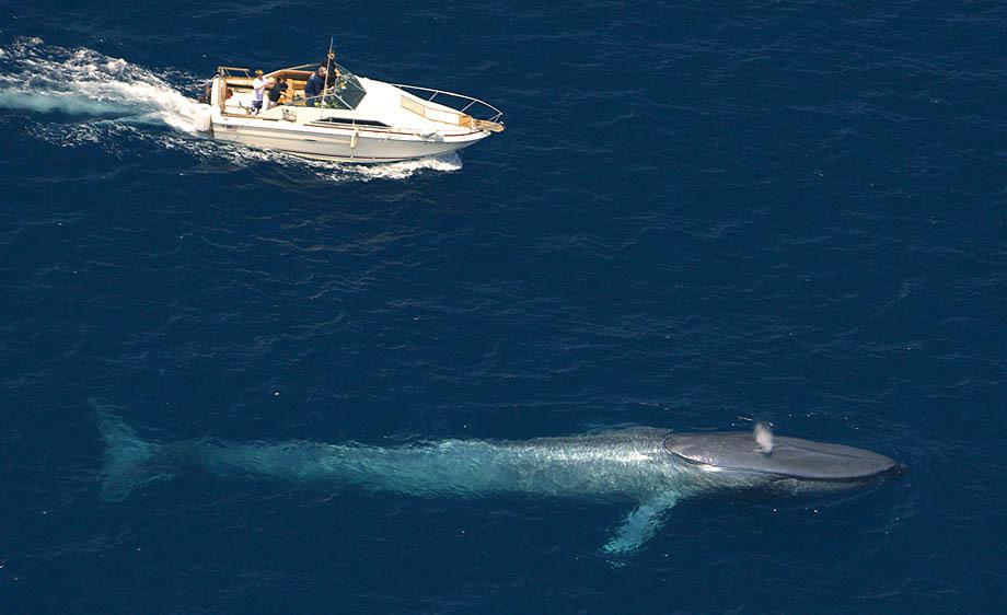 blue-whale-aerial-view