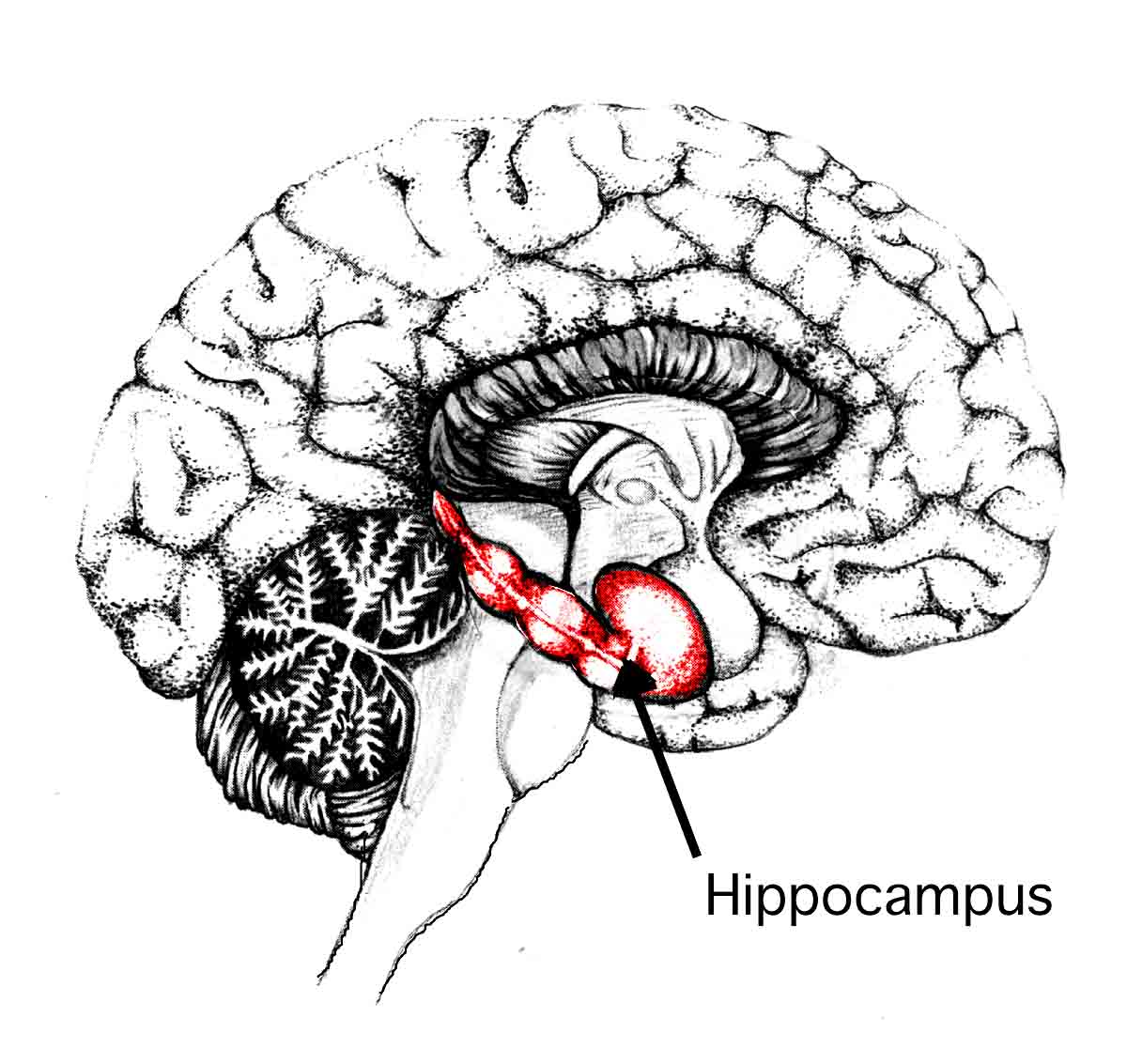 hippocampus-involves-in-memory-and-emotions