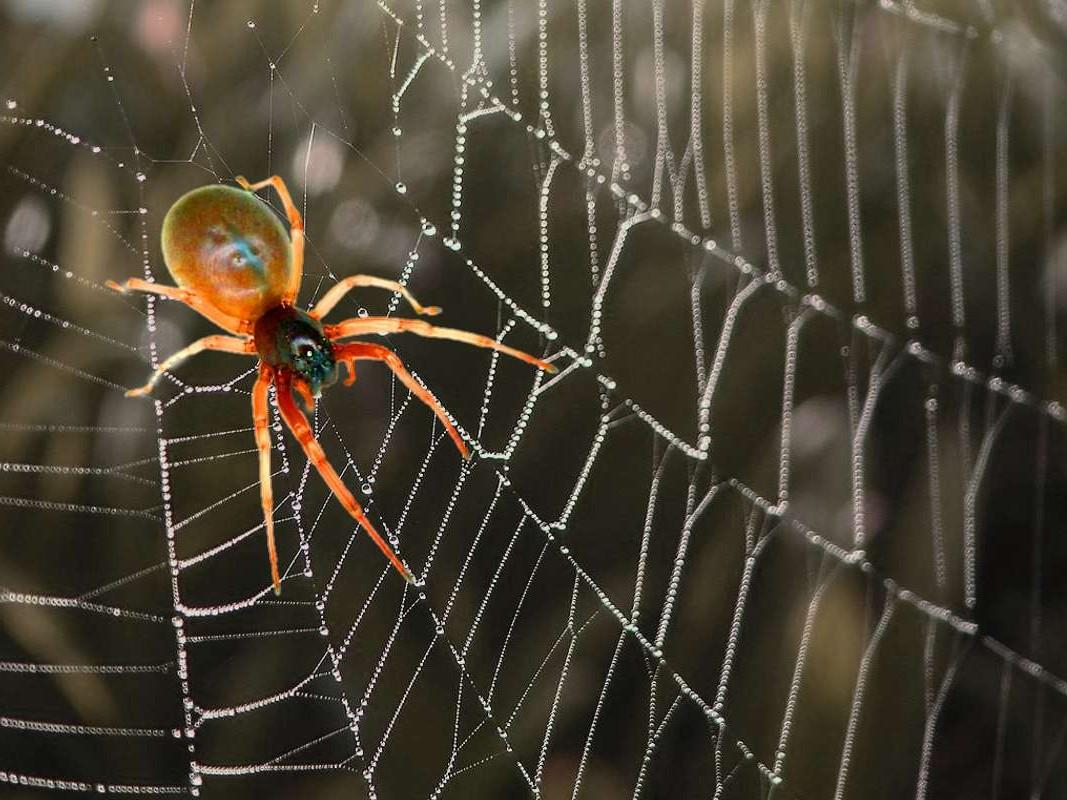 orange-colored-spider-over-web
