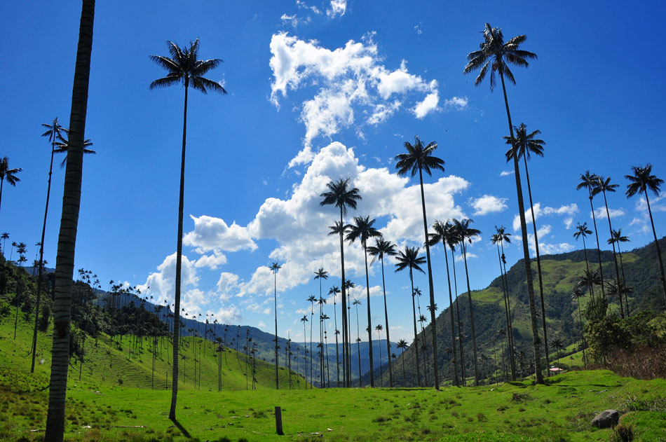 wax-palms-Cocora-valley