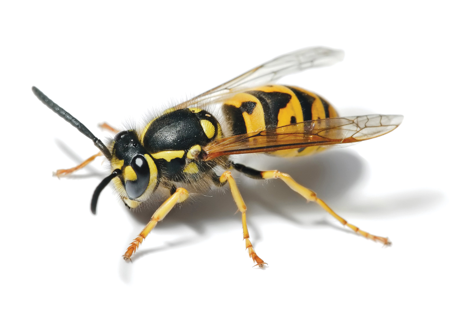 European-Wasp-HD