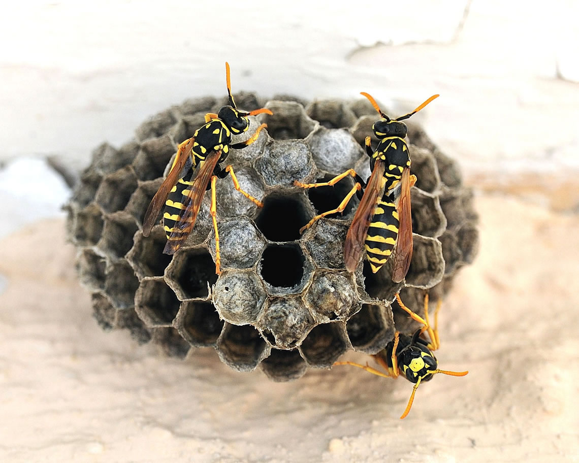 european-paper-wasps-colony