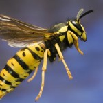 wasp-emits-alarm-hormone-to-call-their-colony