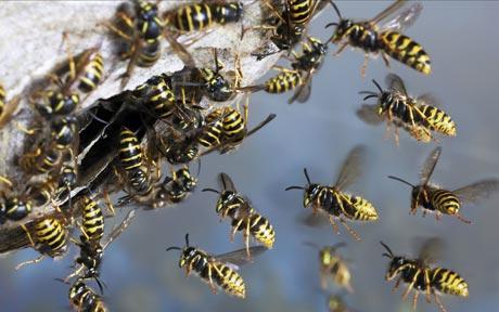wasps-in-nest