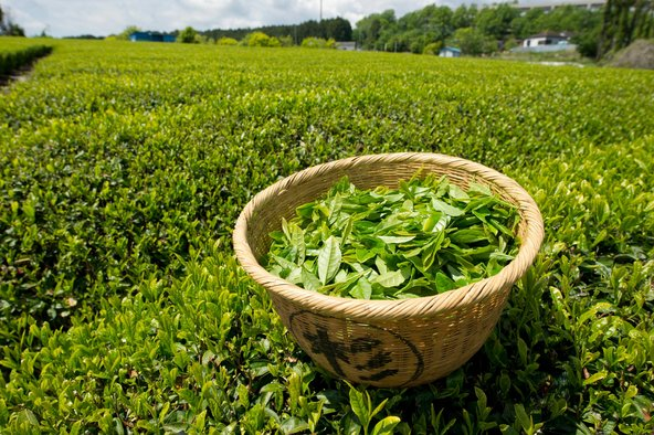 green-tea-feild