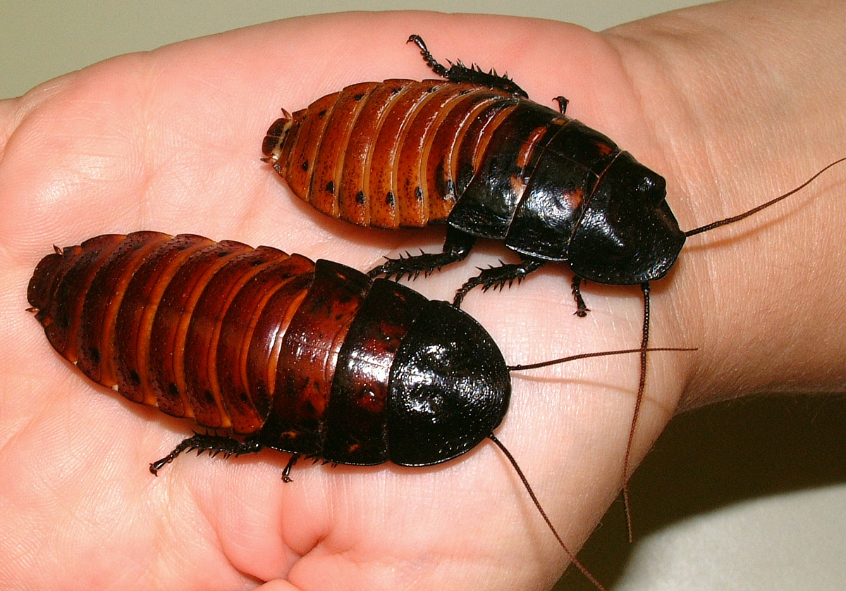 Madagascar-hissing_roaches