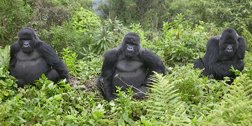 virunga-gorillas