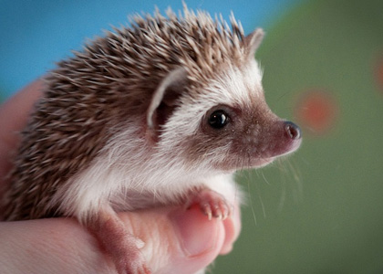 Hedgehog-pet