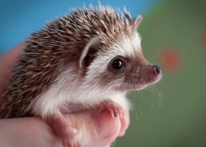 Hedgehog-pet