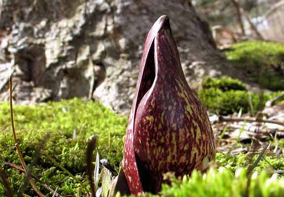 Eastern-Skunk-Cabbage