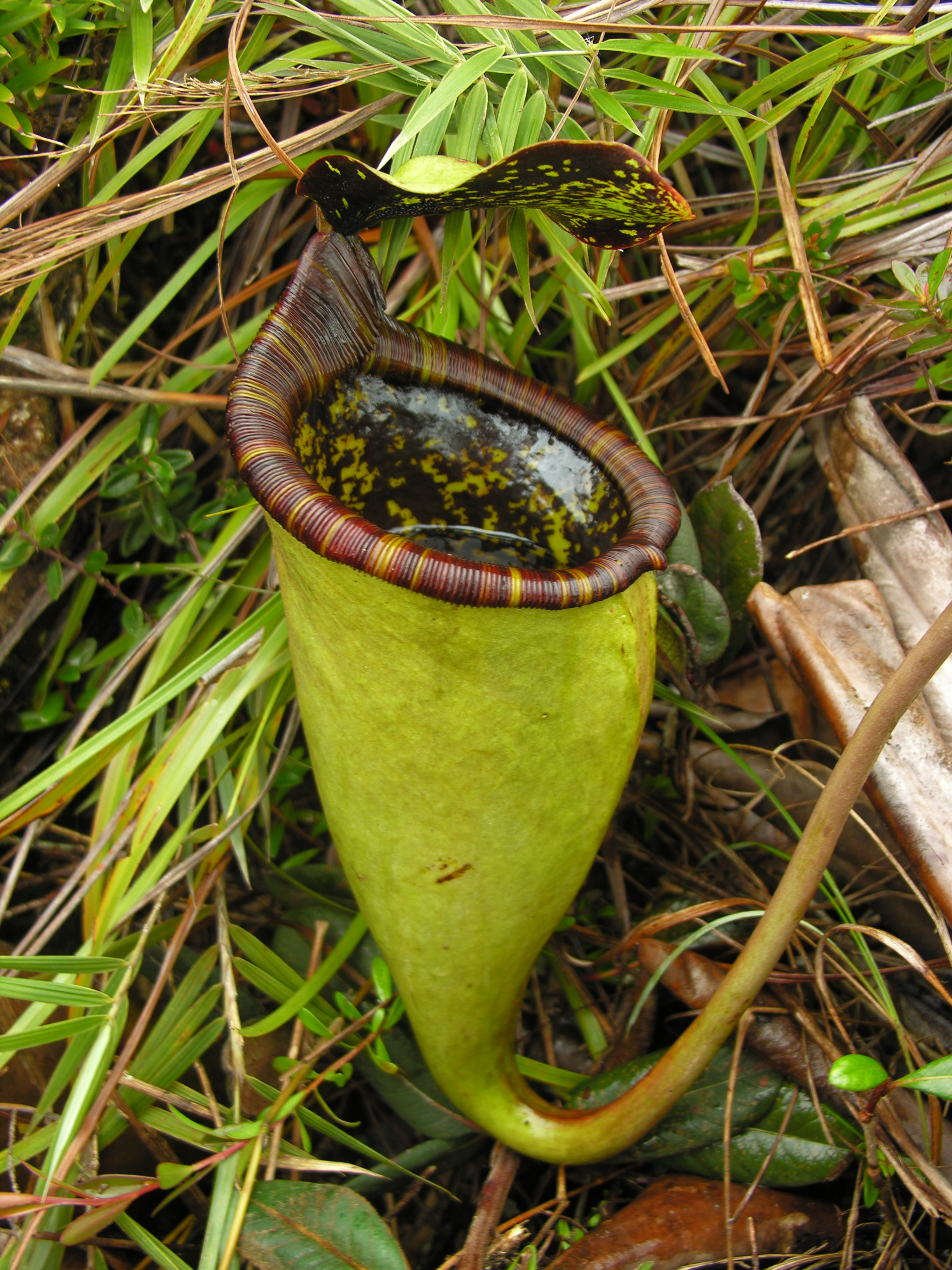 Nepenthes-attenboroughii