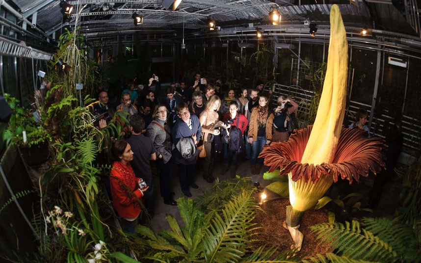 People-travel-all-over-the-world-to-see the-Titan-Arum-plant
