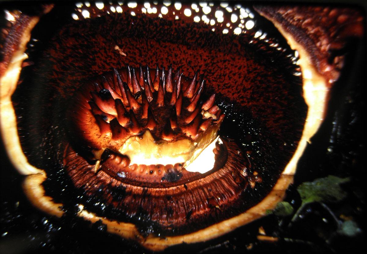 The-inside-part-of-Rafflesia-arnoldii.