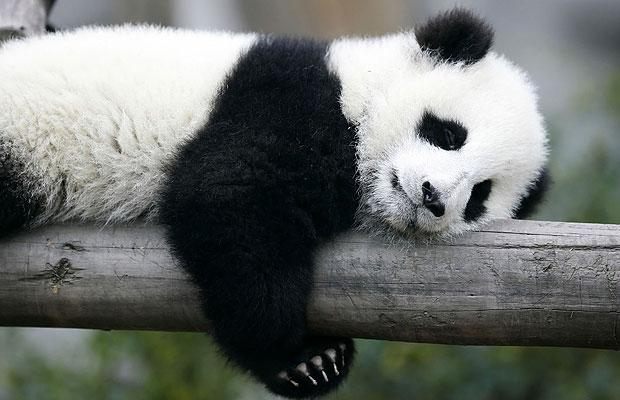 panda-bear-sleeping