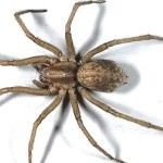 About a spider species called HOBO spider