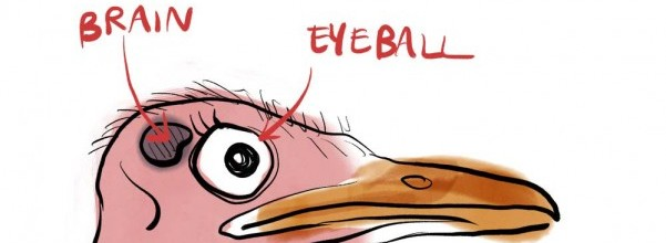 An eye of ostrich is big from its brain
