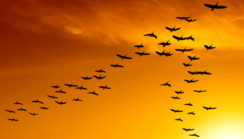 """Birds can save energy by """"v"""" formation fly"""