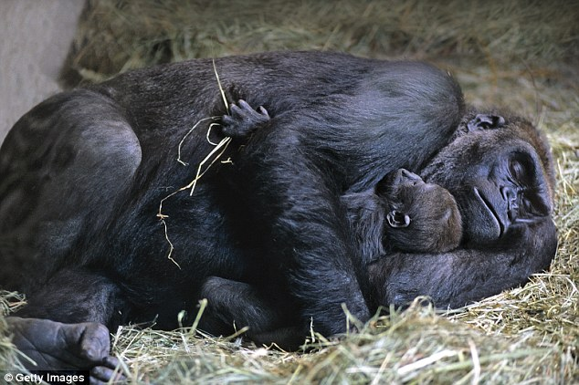 The Gorilla's sleep 14 hours in a day