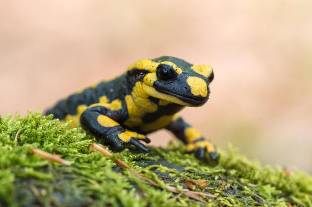 The Salamanders breath by their