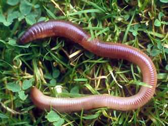 The earthworms has 5 hearts