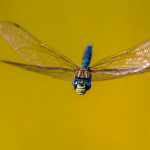 A Dragonfly can fly up to 60 MPH