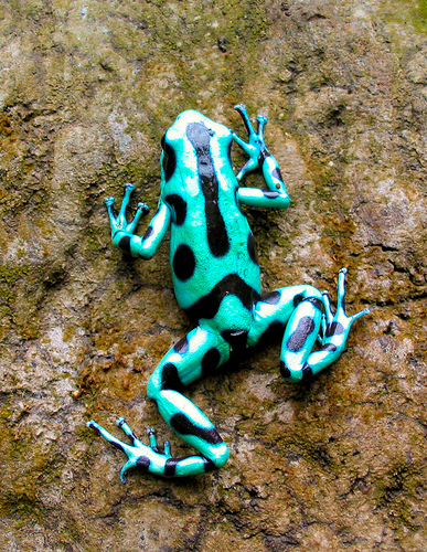 A POISON-ARROW frog has enough poison to kill about 2,200 people