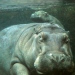 A hippopotamus can stay under water some time