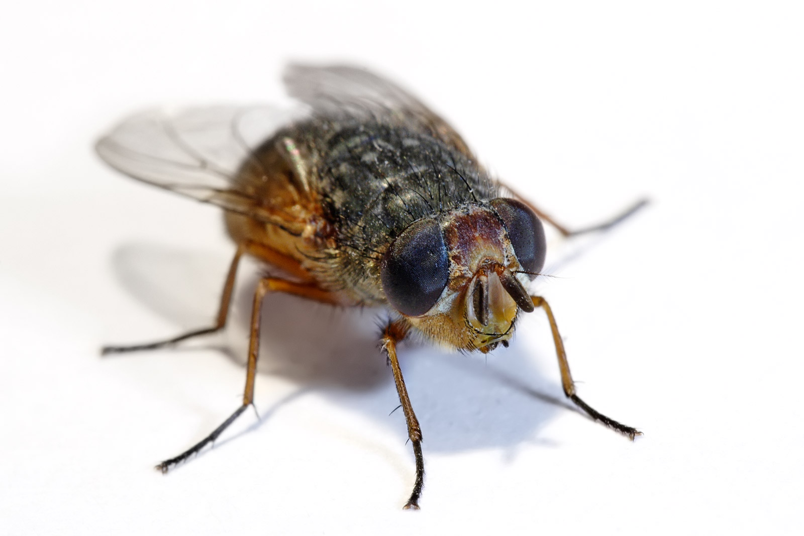 A housefly can live for very short time