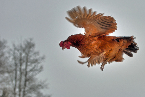 A record of longest chicken flight is is 13 seconds