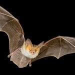 Bat is the only mammal who can fly