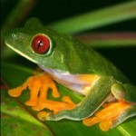 Frogs sleep with their eyes open