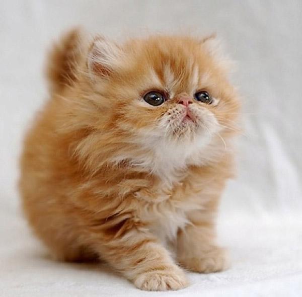 Singapura cat is the smallest cat in the world