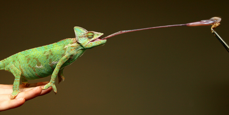The Chameleon's tongue is as long as its body