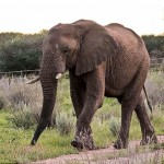 The Elephant is only mammal which have 4 knees