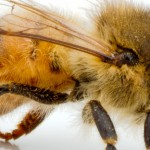 The Honeybees have a type of hair on their eyes 1