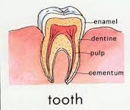 The Human teeth is very hard, like rocks