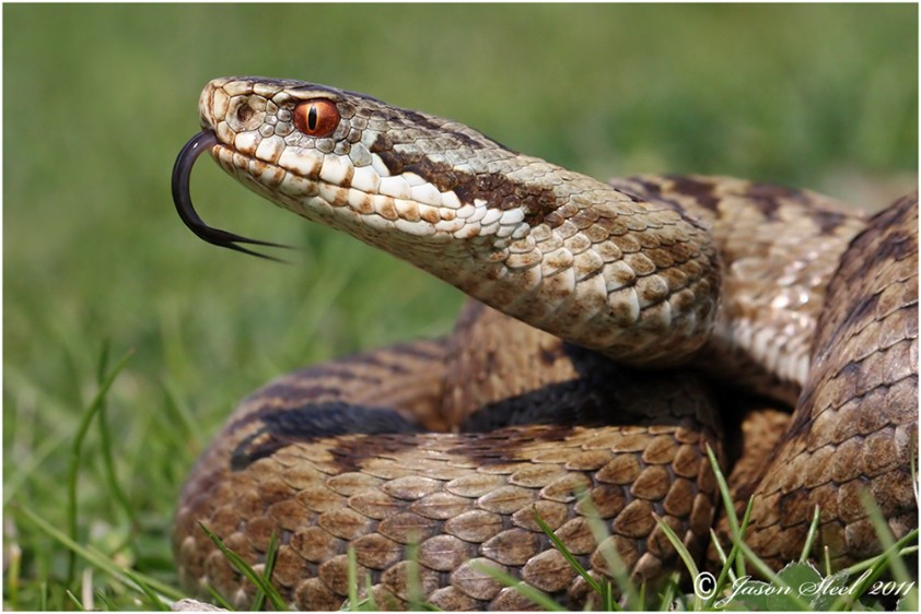 The Snakes take smell with its tongue