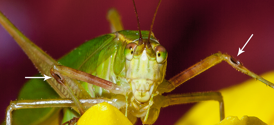 The ears of katydid in its leg
